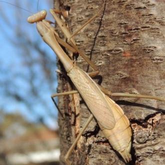 Archimantis sp. (genus)