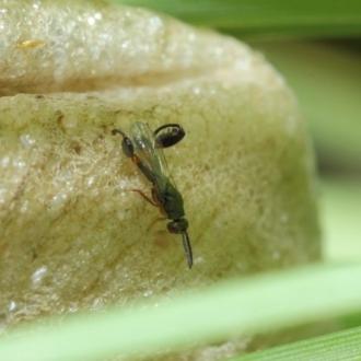 Crinia parinsignifera