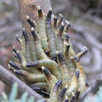 Pseudoperga sp. (genus)