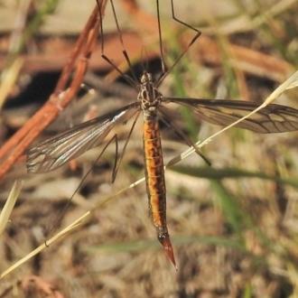 Ptilogyna sp. (genus)