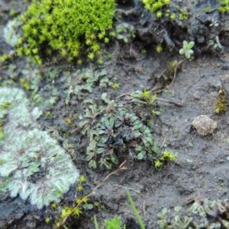 Egernia saxatilis