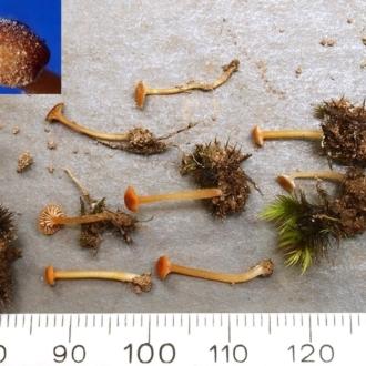 Drysdalia rhodogaster