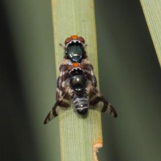 Varanus varius
