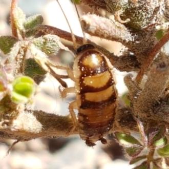 Carlia tetradactyla