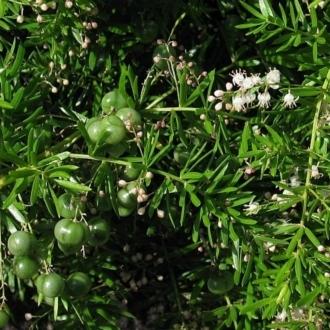 Asparagus aethiopicus