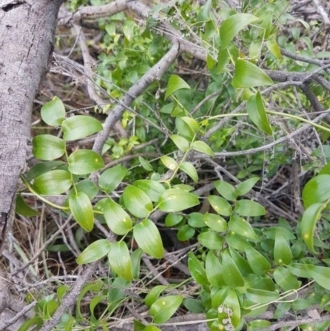 Asparagus asparagoides