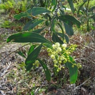 Caladenia carnea
