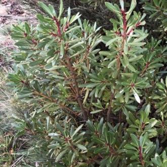 Tasmannia xerophila subsp. xerophila