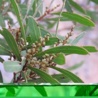 Caladenia fuscata