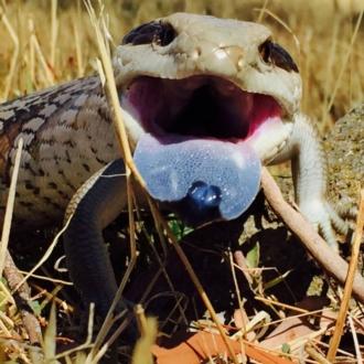 bright blue tongue