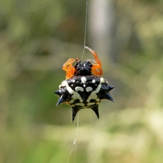Austracantha minax