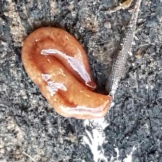Australopacifica graminicola