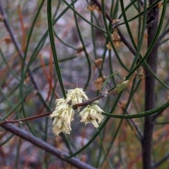 Acacia phasmoides