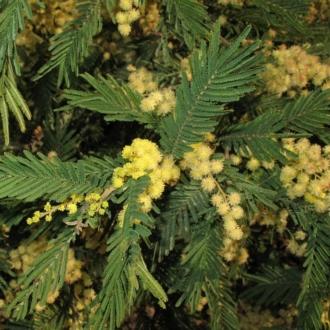 Thelymitra pauciflora