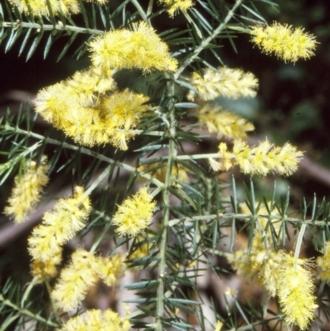 Thelymitra simulata