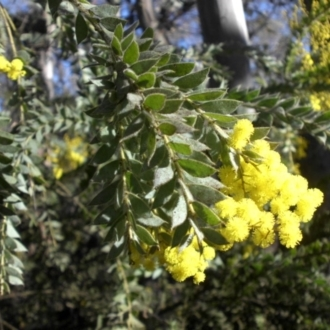 Acacia vestita
