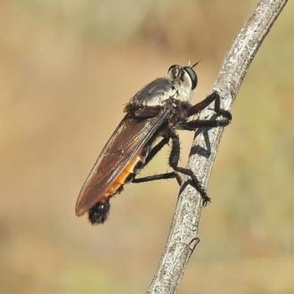 Blepharotes sp. (genus)
