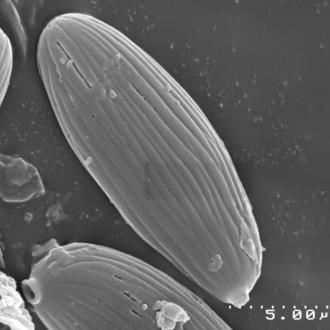 Boletellus obscurecoccineus
