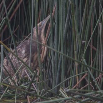 Botaurus poiciloptilus