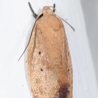 Acanthodela protophaes