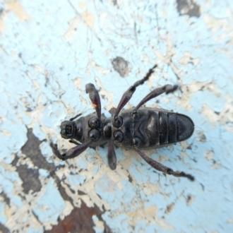 Acantholophus echinatus