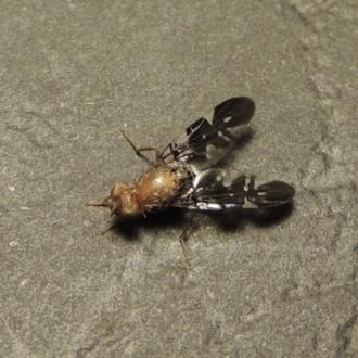Acanthonevroides jarvisi