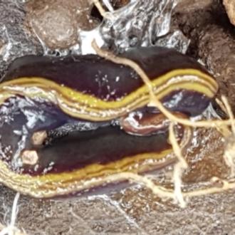 Caenoplana bicolor