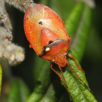 Acanthosomatidae (family)