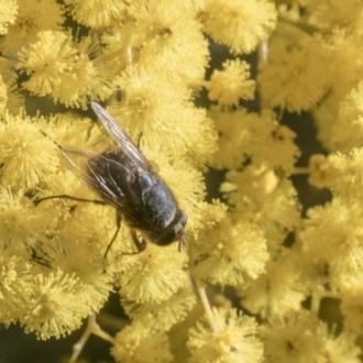 Calliphora sp. (genus)