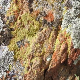 Acarospora citrina