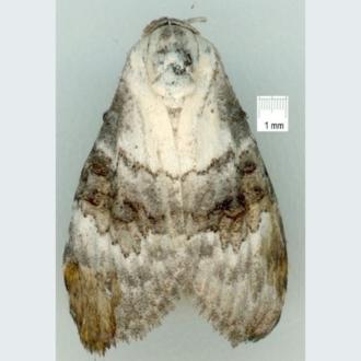 Melichrus urceolatus