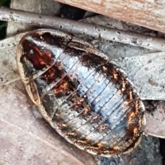 Acacia genistifolia