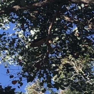 Accipiter sp. (genus)