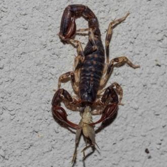 Cercophonius squama