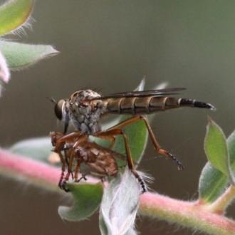 Cerdistus sp. (genus)