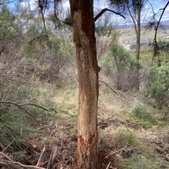 Cervus unicolor