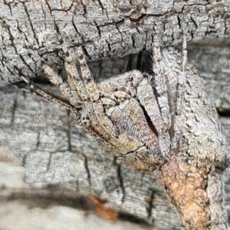 Acroaspis sp. (genus)