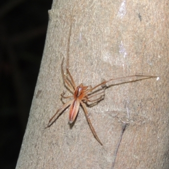 Cheiracanthium gracile