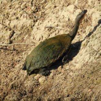 Chelodina (Chelodina) longicollis
