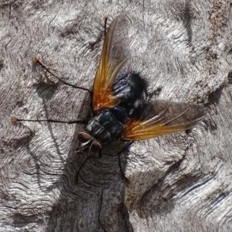 Chetogaster violacea/viridis (complex)