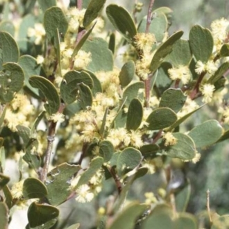 Acacia alpina