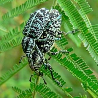 Chrysolopus spectabilis