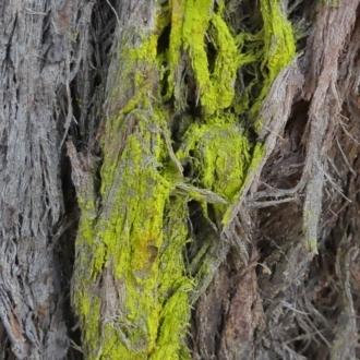 Chrysothrix sp. (genus)