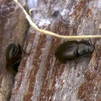 Adelium brevicorne