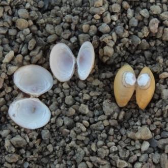 Corbicula australis