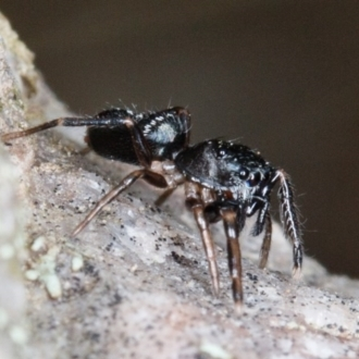 Adoxotoma sp. (genus)