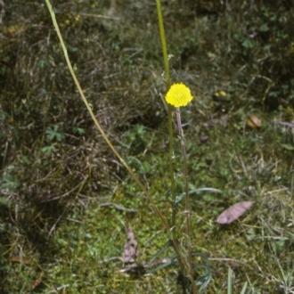 Craspedia gracilis