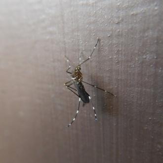 Aedes (Rampamyia) notoscriptus