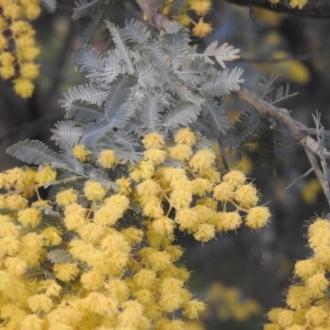 Acacia baileyana x Acacia dealbata