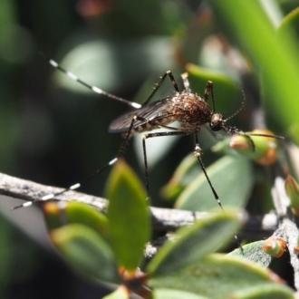 Aedes alboannulatus